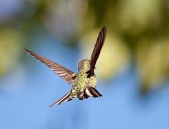 The world is ours (San Diego Shooter) Tags: wallpaper bird birds hummingbird sandiego hummingbirds desktopwallpaper hummingbirdinflight sandiegodesktopwallpaper