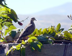 Eared Dove at Arequipa P1080685 (grebberg) Tags: bird peru dove arequipa due zenaida eareddove zenaidaauriculata