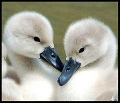 I believe in love.... (Levels Nature) Tags: baby cute bird love nature birds swan bravo babies young cygnet swans top20nature chicks cygnets muteswan specanimal mywinners natureselegantshots mygearandme flickrsportal stunningphotogpi