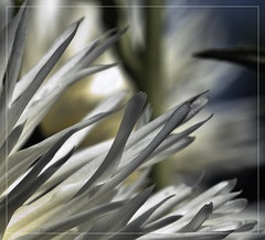 dahlia #52 (d.teil) Tags: park dahlia summer flower color macro berlin green up square nikon close blossom bokeh pflanze blumen grn dalie macros blume squared autmn britz dahlie dteil dhalie