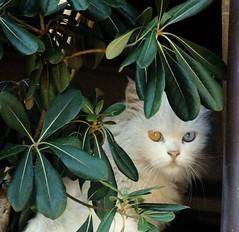La solitudine dei numeri primi (MyMaSs) Tags: eye cat eyes kitten chat kitty occhi gatto bicolor bicoloreyes gattobianco occhibicolore chatblanche