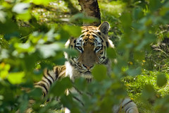 I see you (whisperwolf) Tags: animal d50 scotland nikon tiger kincraig amurtiger highlandwildlifepark sigma70300macrodg