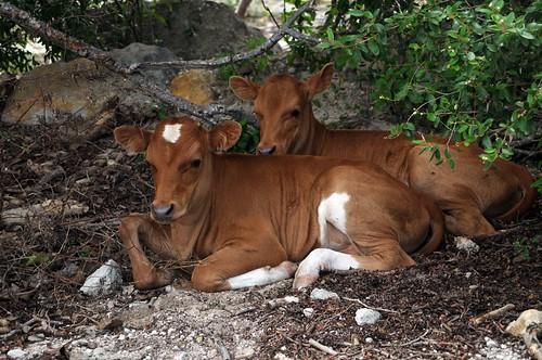 scrub cattle 3