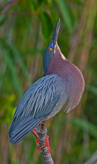 Green Heron in amazing breeding colors, performing courtship ritual (kevansunderland) Tags: evergladesnationalpark royalpalm greenheron littlegreenheron breedingplumage wadingbird birdphotography anhingatrail greenbackheron avianexcellence plumagea