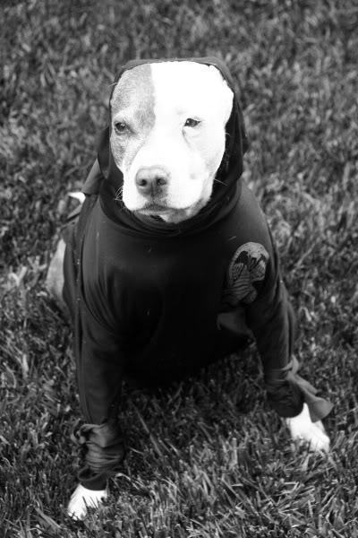 Contrasty pit bull mina ninja warrior