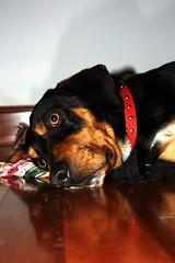 Lur jota (arraintxo) Tags: dogs perros saku txakurrak