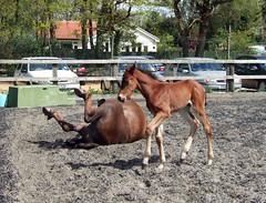 Mum rolling (Lebatihem) Tags: pony dexter foal newforestpony greencottageleadinglady greencottageprincecharming