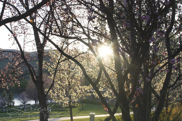 Sunflare through Cherry Blossoms