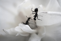 Ant (Eckybay) Tags: bw white flower bug insect ant beckyswora