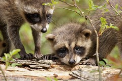 Party For Two (flipkeat) Tags: cute nature animal animals closeup mammal photos wildlife coon kits raccoon masked northern mississauga rodents bandits procyonlotor ratonlaveur waschbaren dslra500
