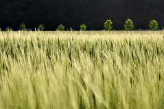 ..oo0OO (Heidelknips) Tags: trees black green barley alley dof row allee gerste grainfield d90