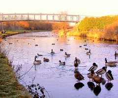 Leeds to Liverpool canal - Waterloo/Seaforth border (* RICHARD M) Tags: winter england ice water birds geese wildlife leeds bridges ducks canals waterloo canadageese merseyside leedsliverpoolcanal sefton seaforth malards liverool