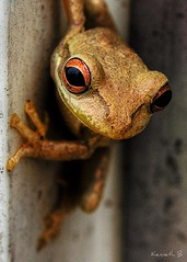 Froggy (Kenneth B) Tags: macro photography raw frog elite orton potofgold naturesfinest tonemapped specialtouch naturescreations