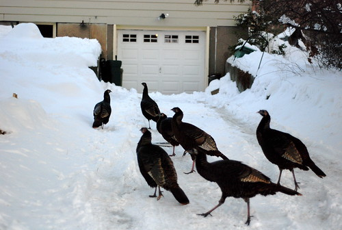 a flock of turkeys