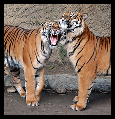 Tiger Nudges (Twitchietai) Tags: california orange black sumatra indonesia t muscular stripes pair tiger gato tigers tijger camoflauge tigris tigre bigcats beasts losangeleszoo carnivores  tygrys   supershot    sumatrantigers pantheratigrissumatrae abigfave  conh tartyshots  ispywinner