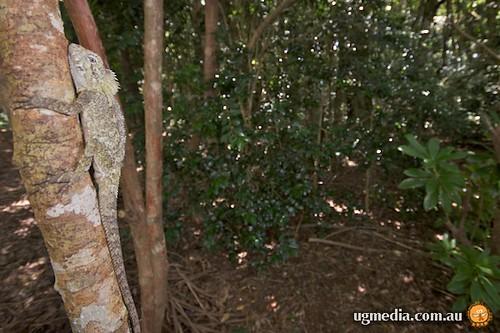 Rainforest dragon (Hypsilurus spinipes)