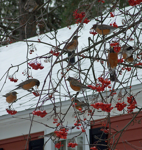 Robins in mountain ash (vertical)