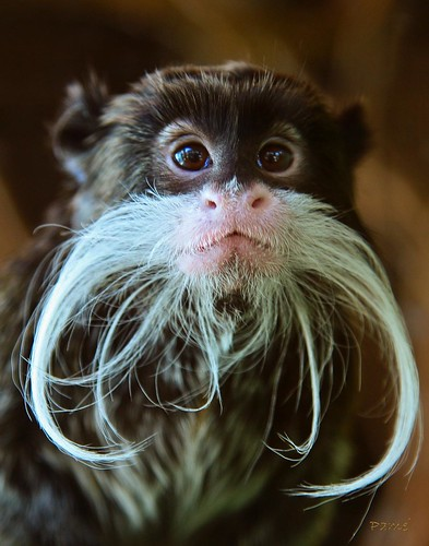 wallpapers of animals emperor tamarin monkeys