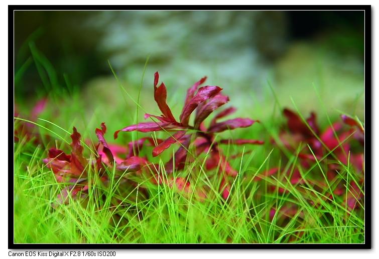 小紅葉上的黑毛藻消失