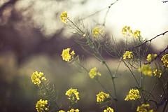 Mustard! (whitneybee) Tags: flowers field yellow 85mm mustard mountainview ugc natureycrap minimixr