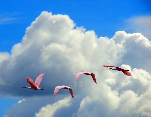 las garzas sobre las nubes