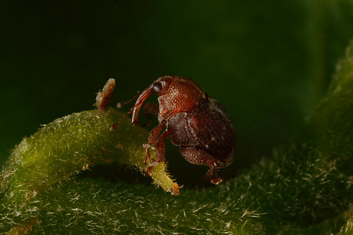 Kemensah Waterfall | Super tiny weevil (5:1 FF)