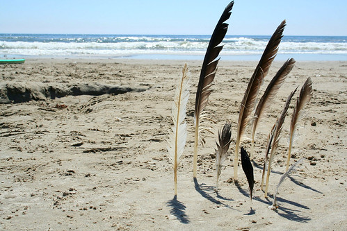 beach collection : sea gull feathers