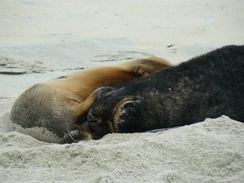 Lion de mer Sand Beach Nouvelle Zelande #9
