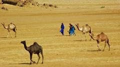 Scattered. (Lucky-S) Tags: india rural landscape desert ethnic camels herd nomads gujarat herdsmen nomadic kutch kachchh thepca pcog chharidhand pcogmeet10