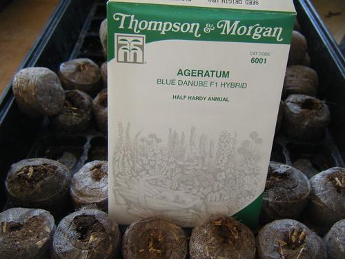 Planting Ageratum (Blue Hawaiian)