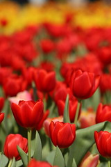 (contradiction) Tags: red flower nature tulip colourful flowershowhk2009