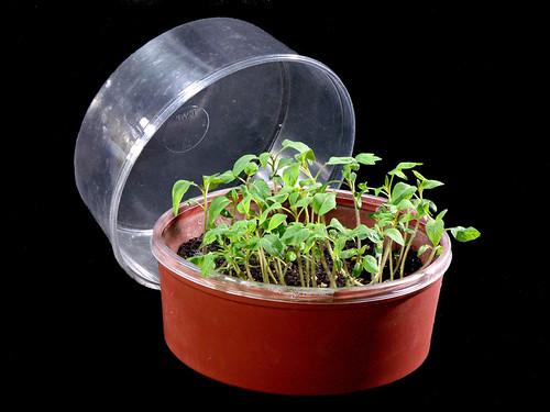 Tomato Seedlings Ready For Pop Bottle Planters