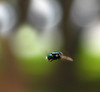 Brasiliense (Luísa Alvim) Tags: verde mosca voando varejeira varegeira