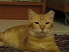 IMG_1576 (jin_ngee) Tags: sweetpea mypetcat