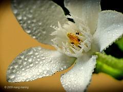 FP: Angel (mang M) Tags: flower macro water rain garden droplets drops agua philippines explore bloom frontpage filipinas ulan pilipinas patak gotinha whiteangel pinoykodakero pkchallenge mangmaning2000 globebules