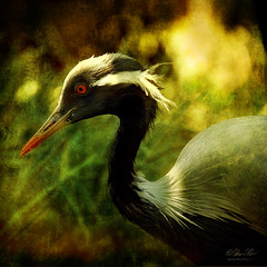The Migrant (fesign) Tags: bird lc demoisellecrane anthropoidesvirgo leastconcern magicunicornverybest magicunicornmasterpiece