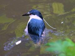 I'm sinking! (Tuesd@y) Tags: bird heron water night zoo rotterdam blijdorp blauw sony waterbird wit dsc vogel blackcrowned h7 diergaarde watervogel dsch7