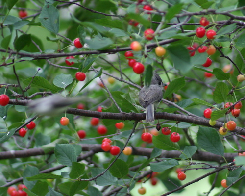 cherry titmice