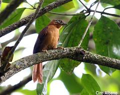 Alagoas-foliage Gleaner_Philydor novaesi