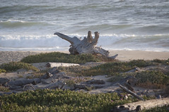Driftwood (Castroville, California, United States) Photo