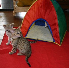 This tent is an awesome toy for kittens! (Junglelure) Tags: blue red cats brown white west green phoenix girl cat asian eyes kitten aqua florida cinnamon central kittens spots leopard spotted marbled bengals f5 emerald bengal f4 milagros snowleopard rosettes leopards snows breeder f7 f6 cattery tangie snowbengal rosetted seallynx sealmink sealsepia junglelure