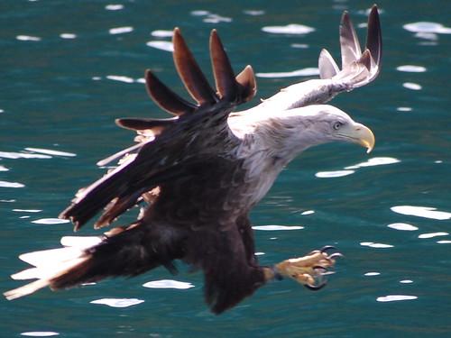 white tailed eagle-Danube-Mura-Drava-conservation