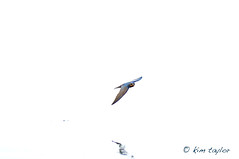 Barn Swallow (Kim Taylor Hull) Tags: bird nature nikon wildlife flight finiky barnswallow nikkor d3 hirundorustica birdinflight
