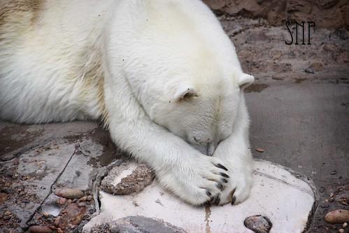 . polar bear .