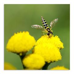 Translucent Wings (Jan Meeus) Tags: flower macro green yellow closeup fly sigma105mm sonya100