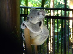 Cute huh? (End of Level Boss) Tags: cute animal australian australia koala qld queensland lou aussie marsupial australiazoo 2007  coala    koaala     koal      hayopngkoala  gingaithucchu