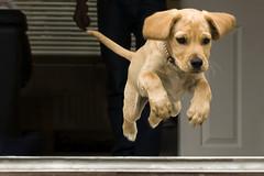 Leap of Faith (Bobshaw) Tags: dog jump faith run leap luka