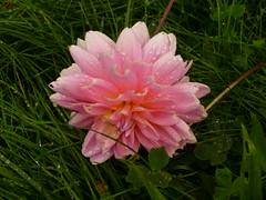 first rains (ladyJake) Tags: droplets beaconhill southseattle elcentrodelaraza nobehi elcentrodelarazagarden lshanatova0909