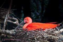 Blijdorp_IBIS-4614 (Arie van Tilborg) Tags: zoo rotterdam blijdorp ibis dierentuin diergaarde rotterdamzoo rodeibis arievantilborg