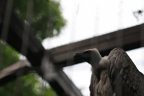 Vulture,  Ueno Zoological Gardens, Tokyo, Japan, canon, 30D
